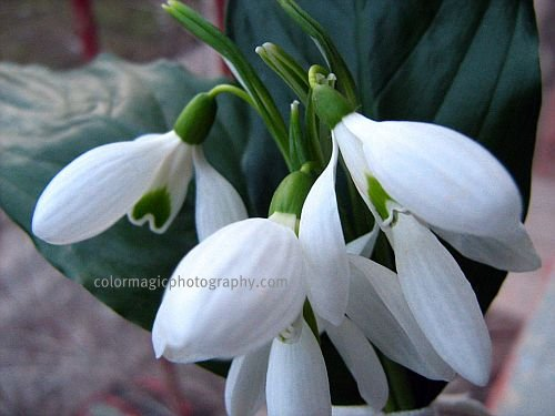 Bouquet of Snowdrop flowers - close-up photo of Galanthus