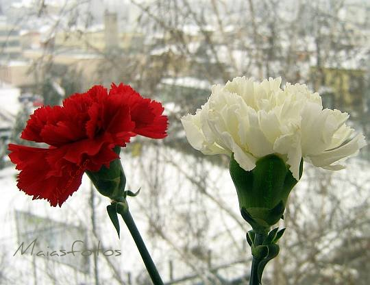 Red and White carnation flowers pictures