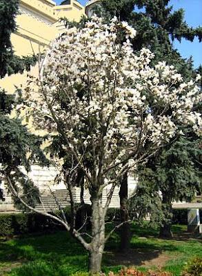 Magnolia tree-magnolia kobus