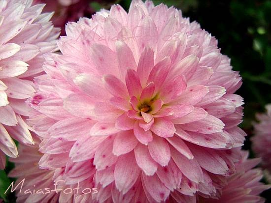 Pink pompom chrysanthemum-macro photo