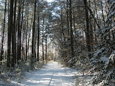 Snow in Virginia pine forest