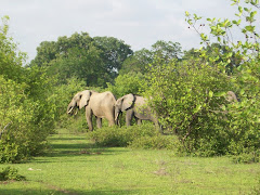 Elephants in Mole NP