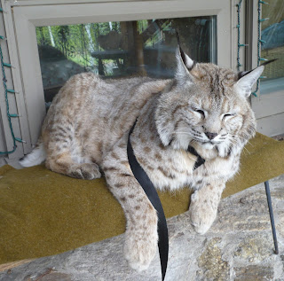 Bobcat pet - photo#8