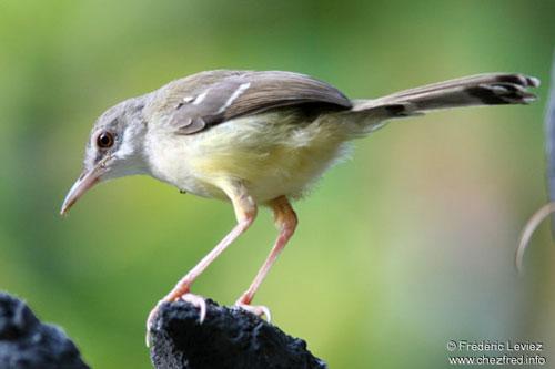 Burung Kutilang Eksotis