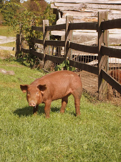 Pig at Codman Community Farm