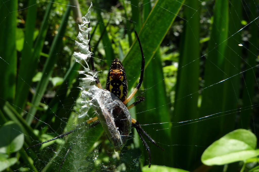 Garden Spider Bite Pictures