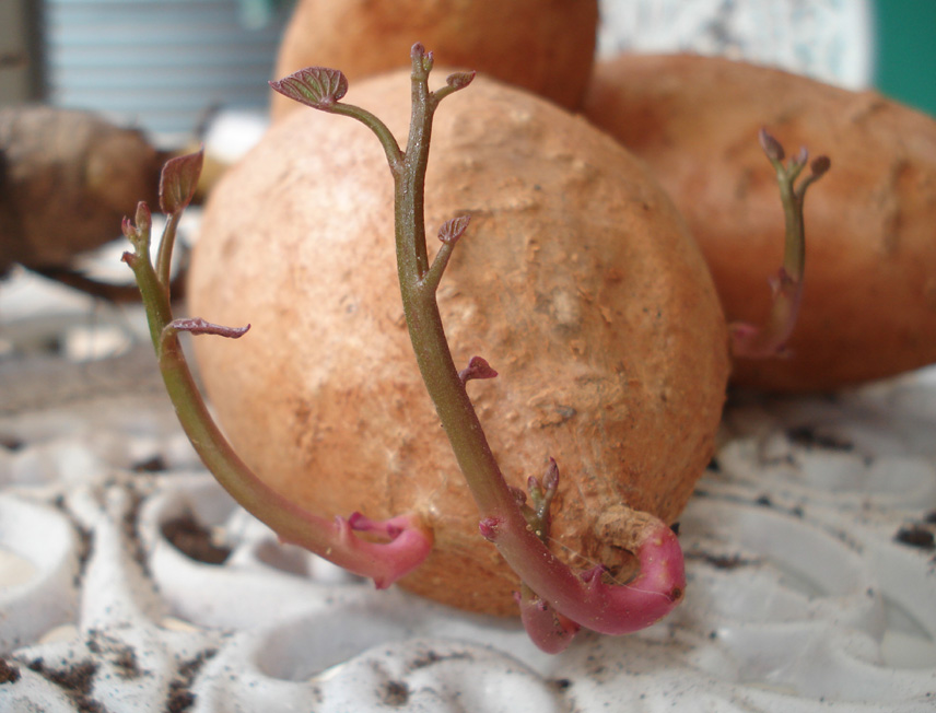 Down to Earth: Growing sweet potatoes