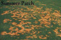Summer Patch very serious disease on Bluegrass. DT landscaping san diego