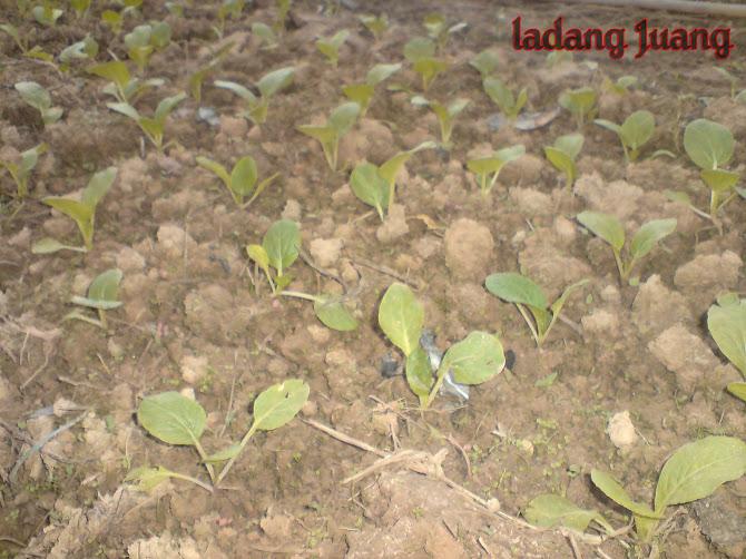 Tanah baru di tanam sayur