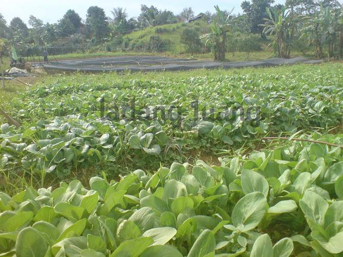 Sayur di kebun mama