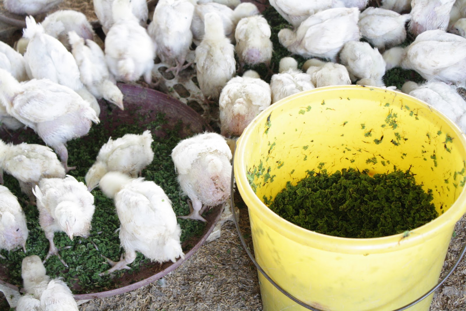 how to make indigenous chickens grow fast