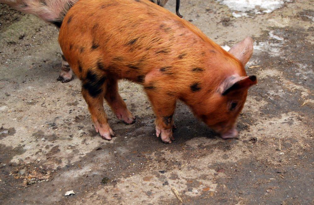 проверить допущены порода рыжих свиней фото Челябинск-Екатеринбург Такси