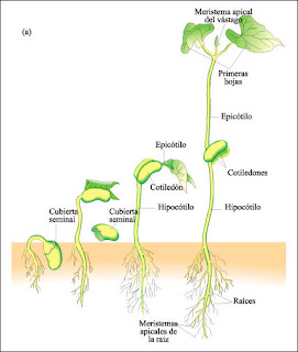 El reino plantae germinaci n de las semillas for Vivero estructura