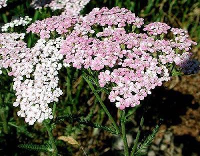 http://3.bp.blogspot.com/_82kHdxzHsq4/SbgHYCvkedI/AAAAAAAABEQ/sQsX_f12MMw/s400/achillea_millefolium.jpg