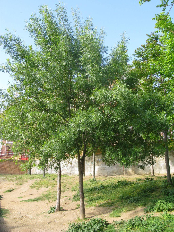 El fresno arbol magico jardiner a tu for Fresno caracteristicas