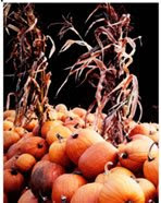 farm harvest photo, pumpkins and corn stalks