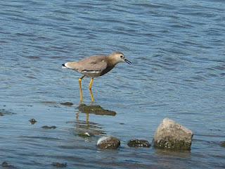 White-Tailed Plover, Seaforth