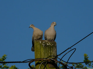 Collared Doves, Mossley Hill