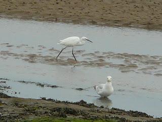 Little Egret, Hilbre Island