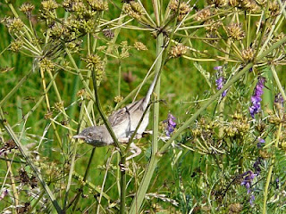 Whitethroat, Inner Marsh Farm