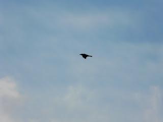 Raven, Moel-Y-Parc