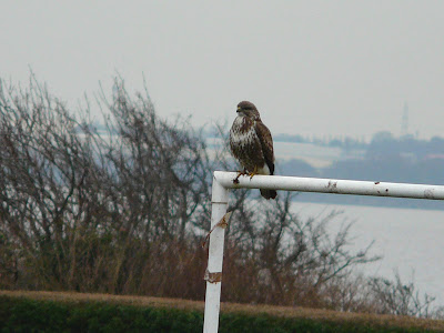 Common Buzzard, Otterspool