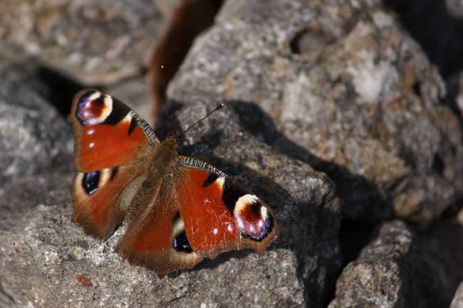 Un lundi de Pâques Papillon