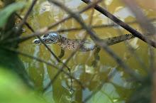 Crocodylus acutus (the American Croc)