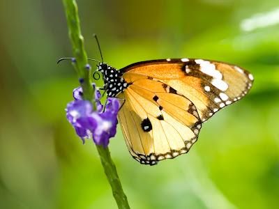 butterflies wallpapers. utterflies wallpapers. free utterfly wallpaper.