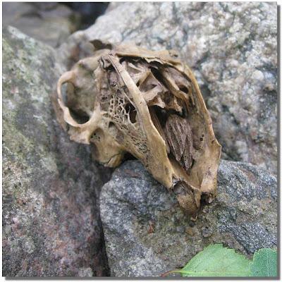 En skalle, kanske från nån slags gnagare.
