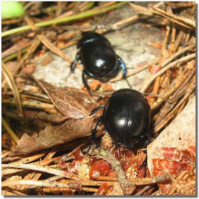 Skalbaggar - inte lika äckliga som kackerlackor.