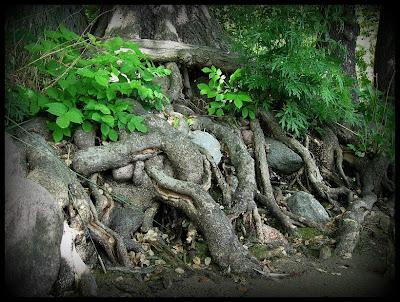Trädrötter invid vattnet.