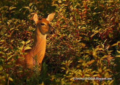 Deer Looking at Sunrise, Toronto photographer Robert Rafton