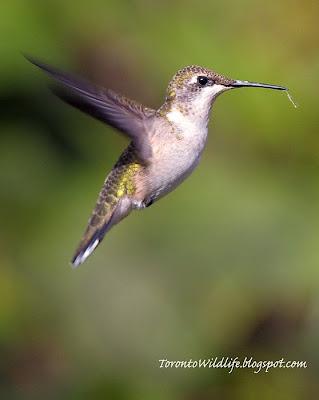 Ruby-Throated Hummingbird hovers in Toronto, Robert Rafton