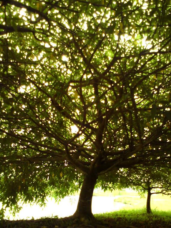 pohon..