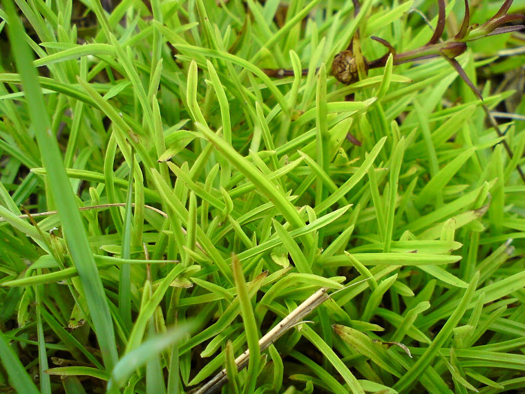 rumput..
