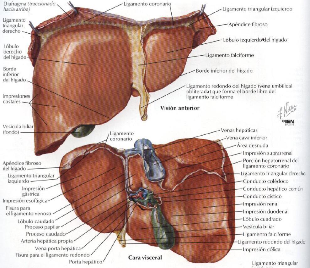 Anatomía Normal: Macroscopia del Hígado