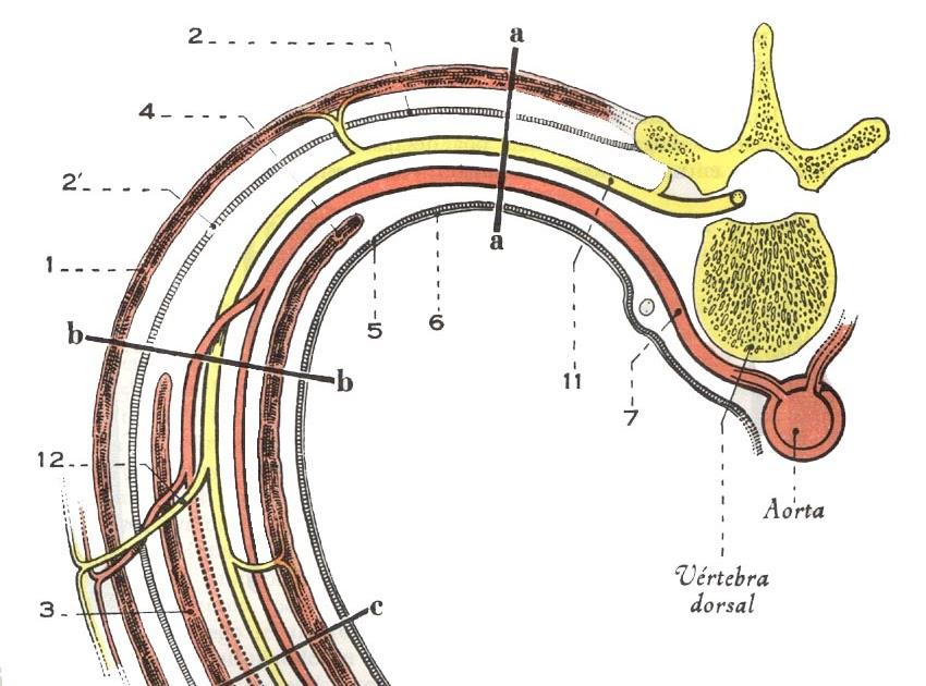 Anatomía Normal: Esquema de los Músculos Intercostales