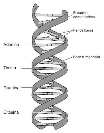 celula vegetal y sus partes. celula animal y sus partes.