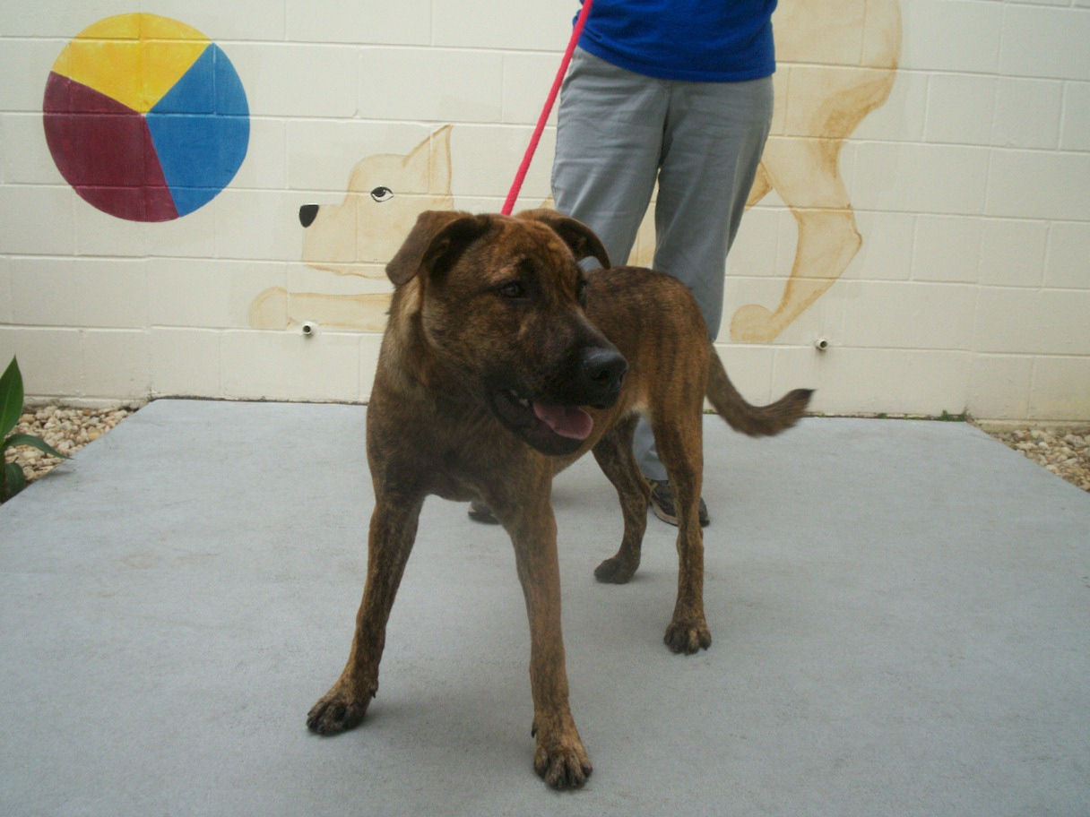 The doglando blog orlando dog grooming orlando dog training soloy hi im soloy i am a 2 year old female pit mix who came to the spca on 11709 when my previous family lost their home i will be spayed before solutioingenieria Image collections
