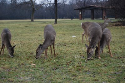 [group+of+deer]