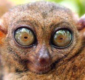 http://3.bp.blogspot.com/_8IUsyoeCzRs/SjVZSm4plJI/AAAAAAAAEWM/ldU3f24R3Pc/s400/bulging+lemur+eyes.jpg