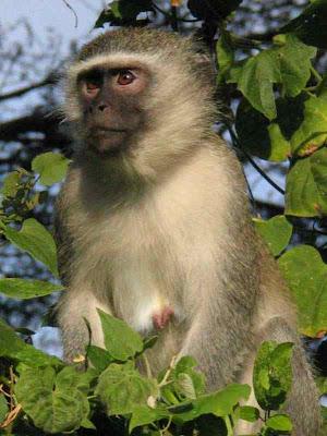 african monkeys Pics