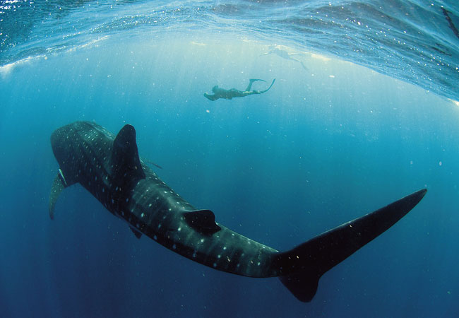 Biggest whale shark ever seen - photo#1
