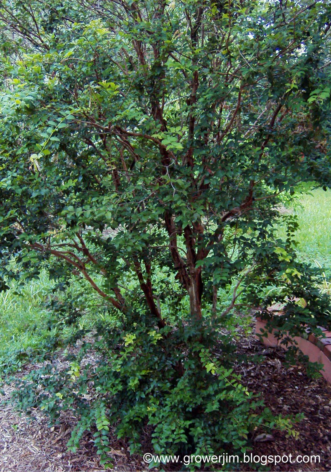 Garden Adventures: Jaboticaba (Myrciaria cauliflora)