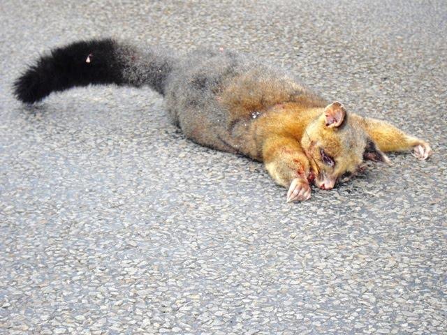 how to kill a possum
