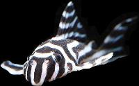 Zebra Imperial