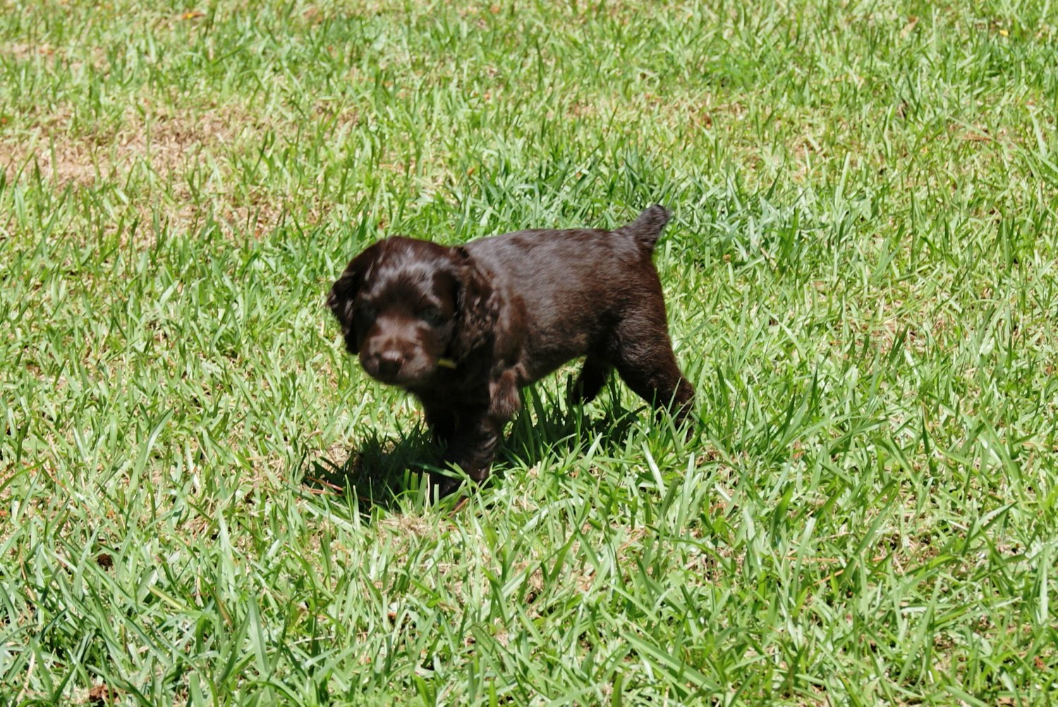 Boykin Spaniel Dog Puppies