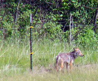 Coyote standing