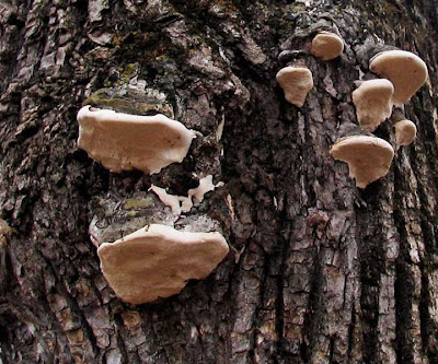 tree bark fungus